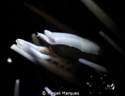 Gnathophylloides mineri  